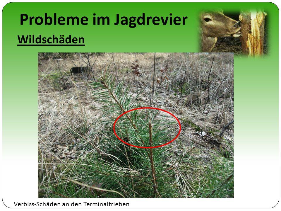 Probleme im Jagdrevier Wildschäden Verbiss-Schäden an den Terminaltrieben