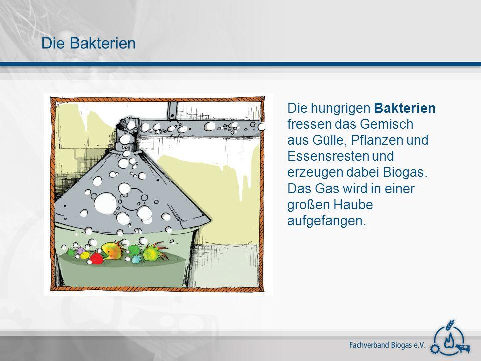 Die hungrigen Bakterien fressen das Gemisch aus Gülle, Pflanzen und Essensresten und erzeugen dabei Biogas. Das Gas wird in einer großen Haube aufgefa