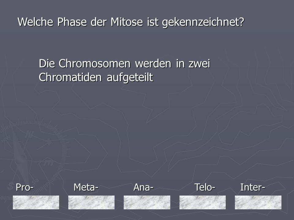 Pro-Meta-Inter-Ana-Telo- Welche Phase der Mitose ist gekennzeichnet? Die Chromosomen werden in zwei Chromatiden aufgeteilt