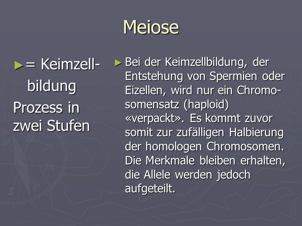 Meiose = Keimzell- = Keimzell- bildung bildung Prozess in zwei Stufen Bei der Keimzellbildung, der Entstehung von Spermien oder Eizellen, wird nur ein