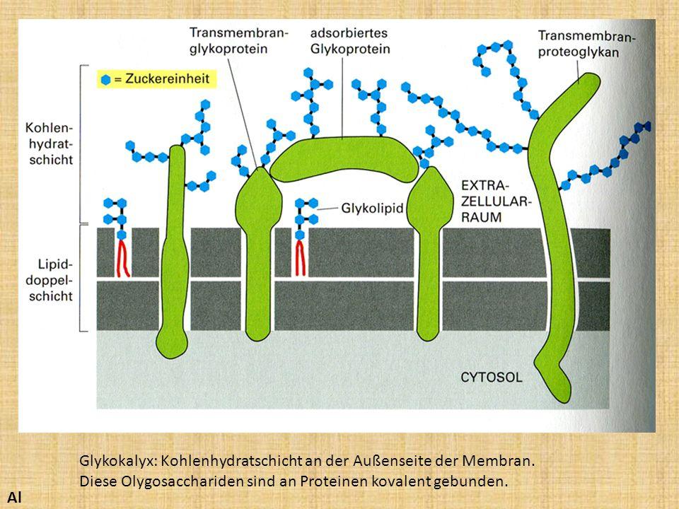 Glykokalyx: Kohlenhydratschicht an der Außenseite der Membran. Diese Olygosacchariden sind an Proteinen kovalent gebunden. Al