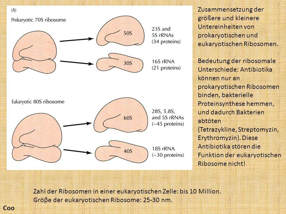 Zahl der Ribosomen in einer eukaryotischen Zelle: bis 10 Million. Gröβe der eukaryotischen Ribosome: 25-30 nm. Coo Zusammensetzung der größere und kle