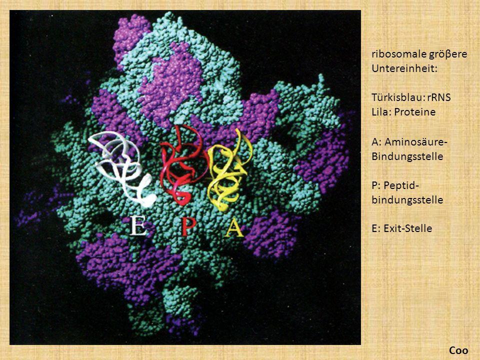 ribosomale gröβere Untereinheit: Türkisblau: rRNS Lila: Proteine A: Aminosäure- Bindungsstelle P: Peptid- bindungsstelle E: Exit-Stelle Coo