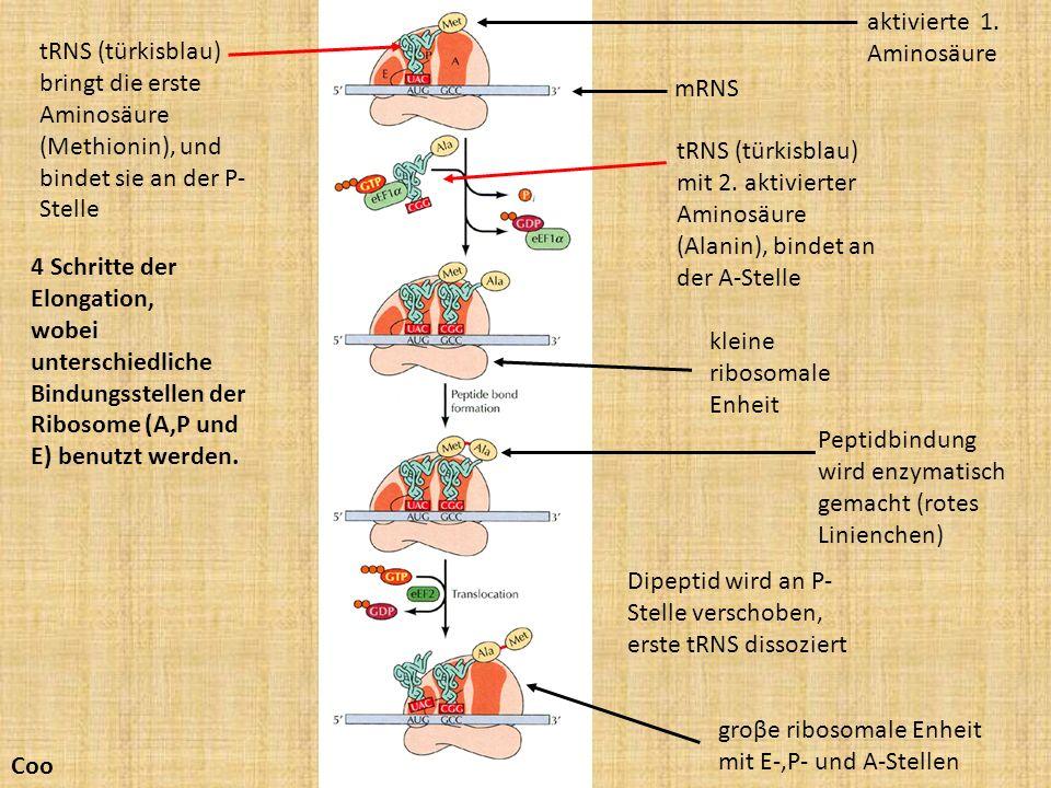 mRNS 4 Schritte der Elongation, wobei unterschiedliche Bindungsstellen der Ribosome (A,P und E) benutzt werden. kleine ribosomale Enheit groβe ribosom