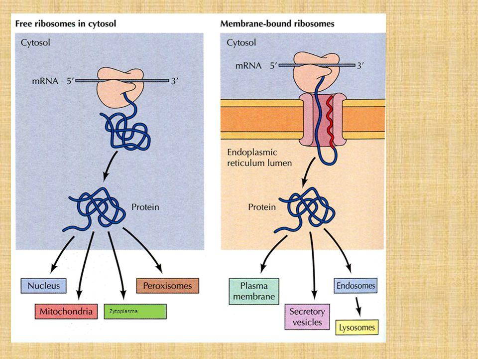 Zytoplasma