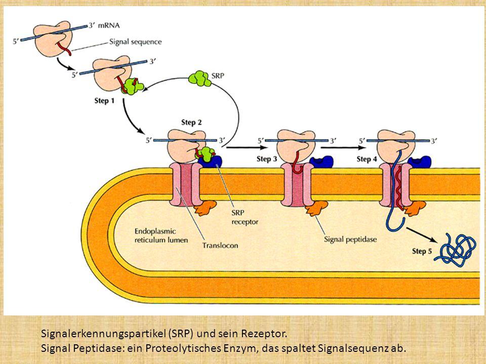 Signalerkennungspartikel (SRP) und sein Rezeptor. Signal Peptidase: ein Proteolytisches Enzym, das spaltet Signalsequenz ab.