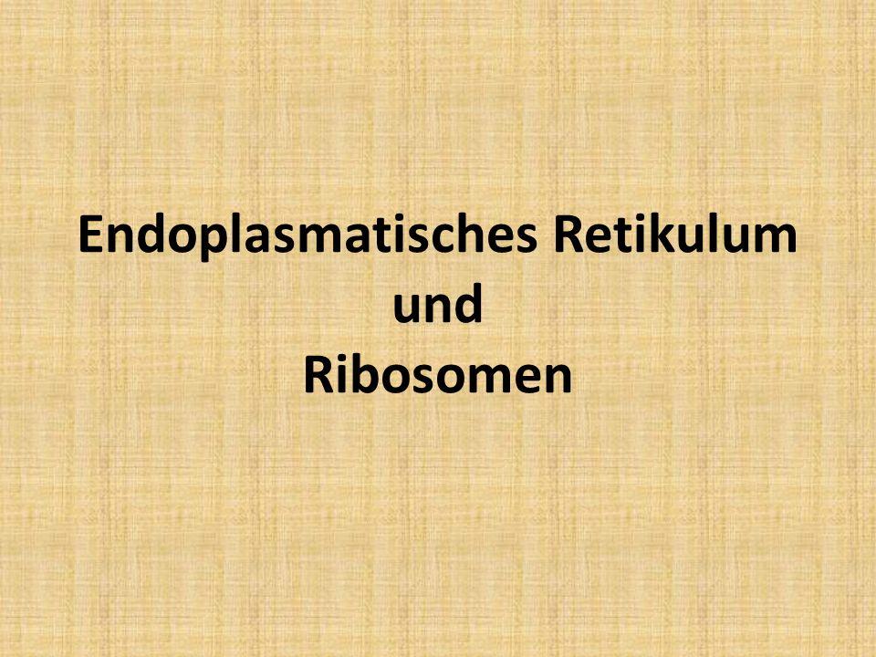 Endoplasmatisches Retikulum 1.