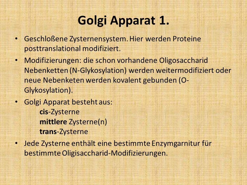 Golgi Apparat 1. Geschloßene Zysternensystem. Hier werden Proteine posttranslational modifiziert. Modifizierungen: die schon vorhandene Oligosaccharid