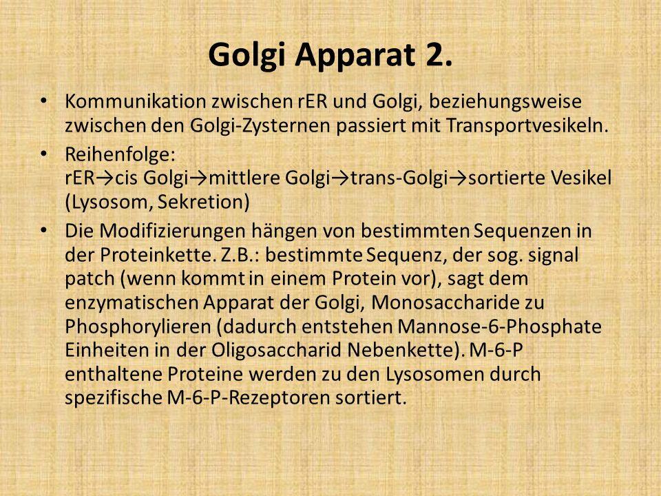 Golgi Apparat 2. Kommunikation zwischen rER und Golgi, beziehungsweise zwischen den Golgi-Zysternen passiert mit Transportvesikeln. Reihenfolge: rERci