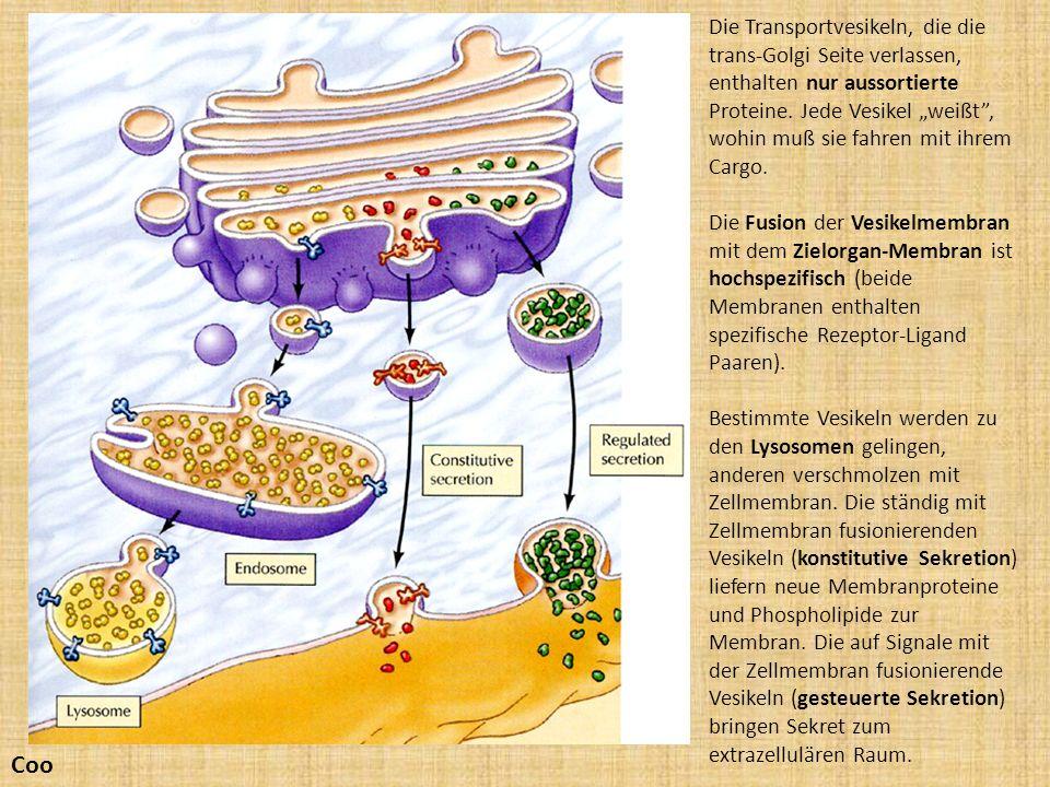 Coo Die Transportvesikeln, die die trans-Golgi Seite verlassen, enthalten nur aussortierte Proteine. Jede Vesikel weißt, wohin muß sie fahren mit ihre
