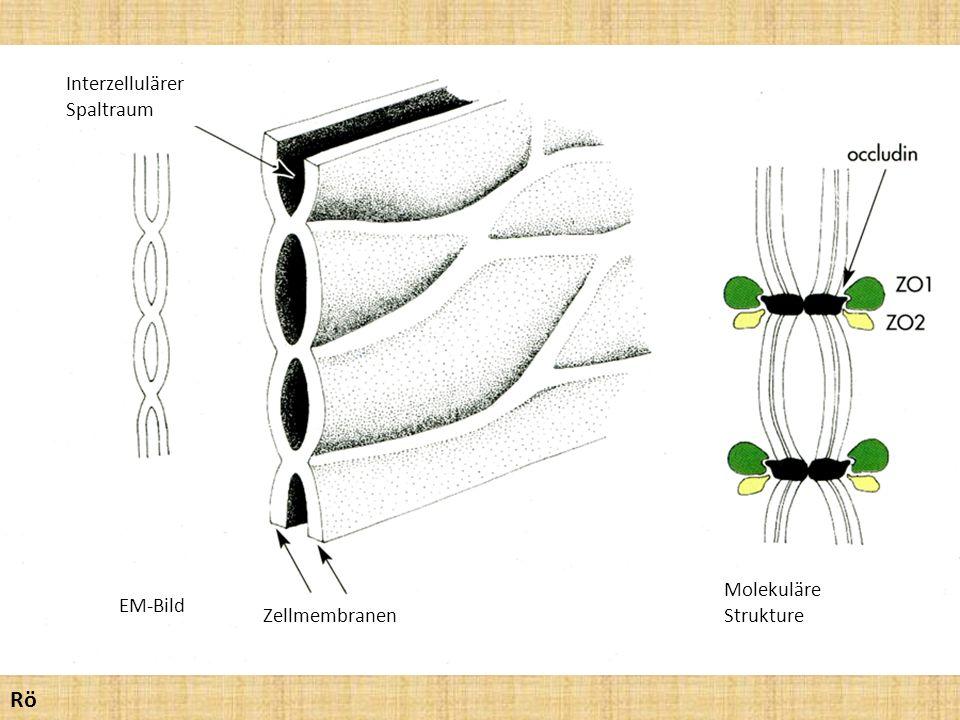 EM-Bild Interzellulärer Spaltraum Zellmembranen Molekuläre Strukture Rö