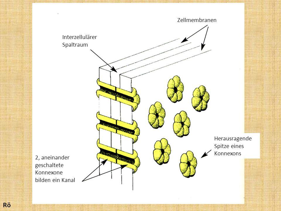 Zellmembranen Interzellulärer Spaltraum 2, aneinander geschaltete Konnexone bilden ein Kanal Herausragende Spitze eines Konnexons Rö