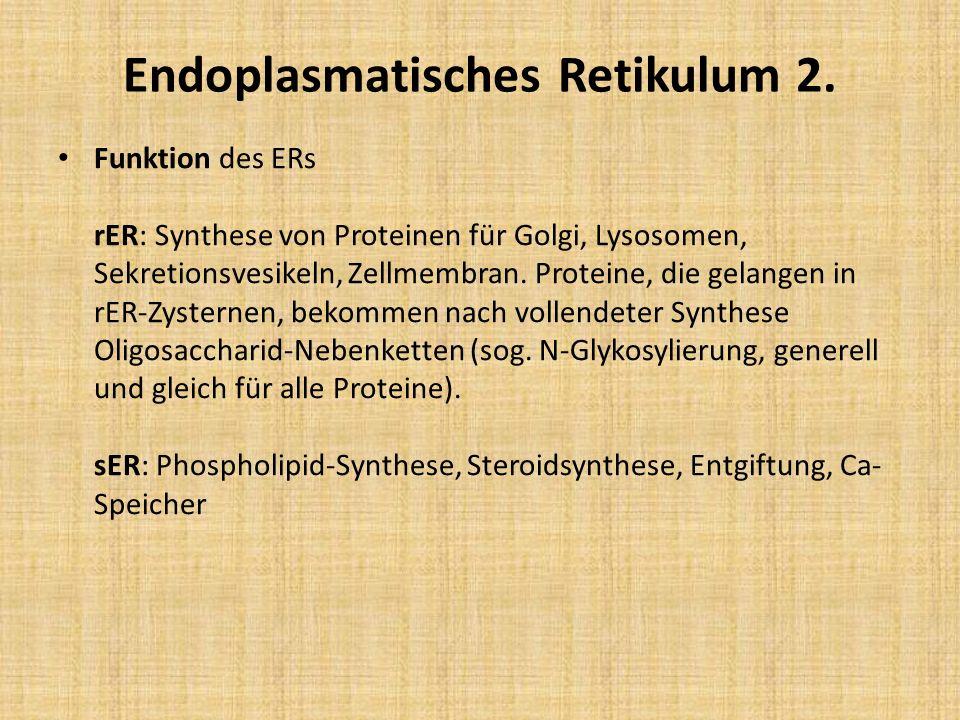 Endoplasmatisches Retikulum 2. Funktion des ERs rER: Synthese von Proteinen für Golgi, Lysosomen, Sekretionsvesikeln, Zellmembran. Proteine, die gelan