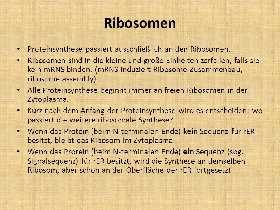Proteinsynthese passiert ausschließlich an den Ribosomen. Ribosomen sind in die kleine und große Einheiten zerfallen, falls sie kein mRNS binden. (mRN