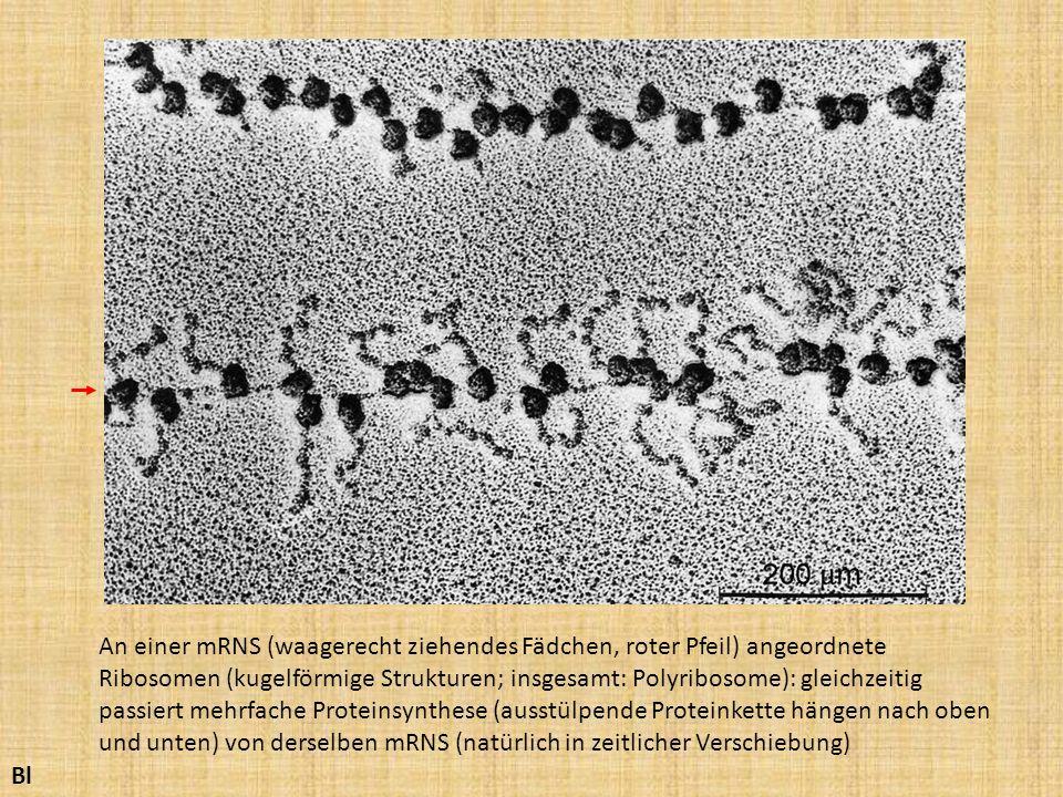 Bl An einer mRNS (waagerecht ziehendes Fädchen, roter Pfeil) angeordnete Ribosomen (kugelförmige Strukturen; insgesamt: Polyribosome): gleichzeitig pa