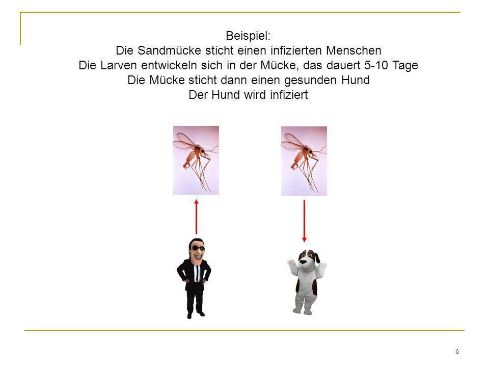 6 Beispiel: Die Sandmücke sticht einen infizierten Menschen Die Larven entwickeln sich in der Mücke, das dauert 5-10 Tage Die Mücke sticht dann einen