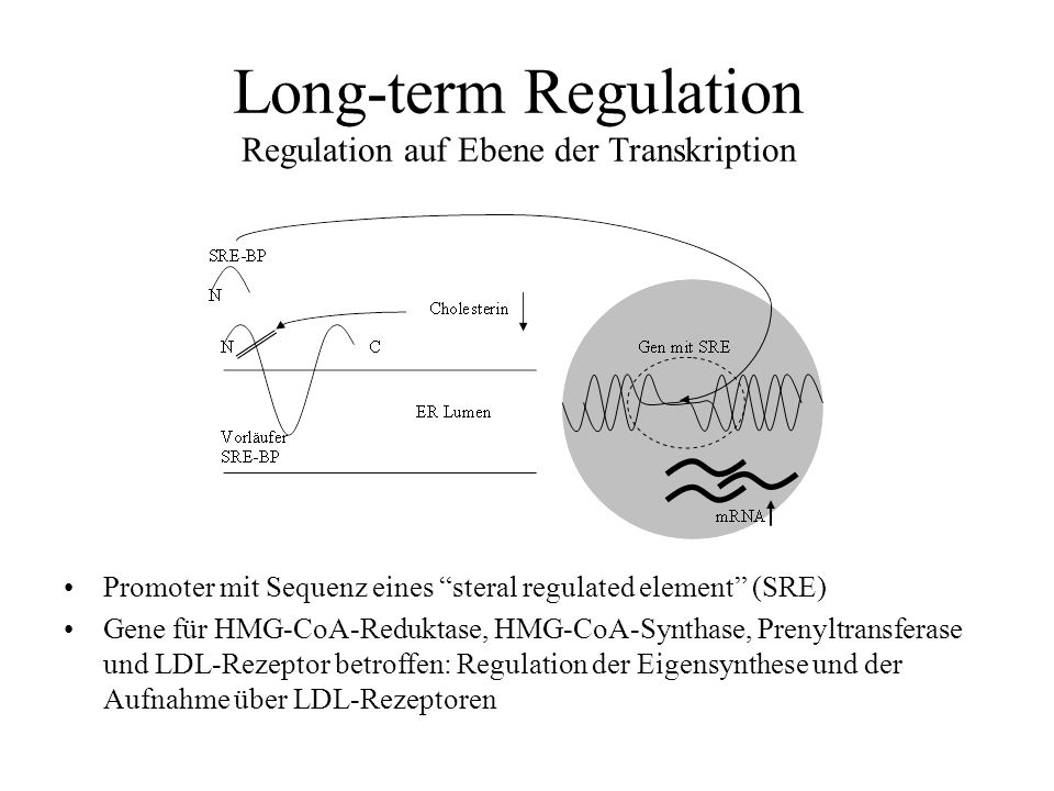 Long-term Regulation Regulation auf Ebene der Transkription Promoter mit Sequenz eines steral regulated element (SRE) Gene für HMG-CoA-Reduktase, HMG-