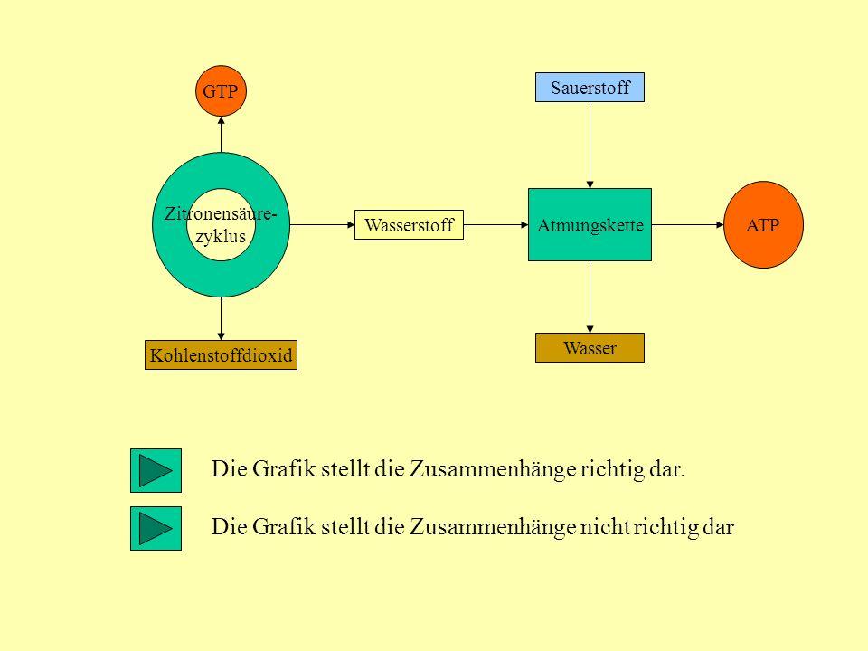ATP Wasserstoff Sauerstoff Wasser Atmungskette Zitronensäure- zyklus Kohlenstoffdioxid GTP Die Grafik stellt die Zusammenhänge richtig dar. Die Grafik