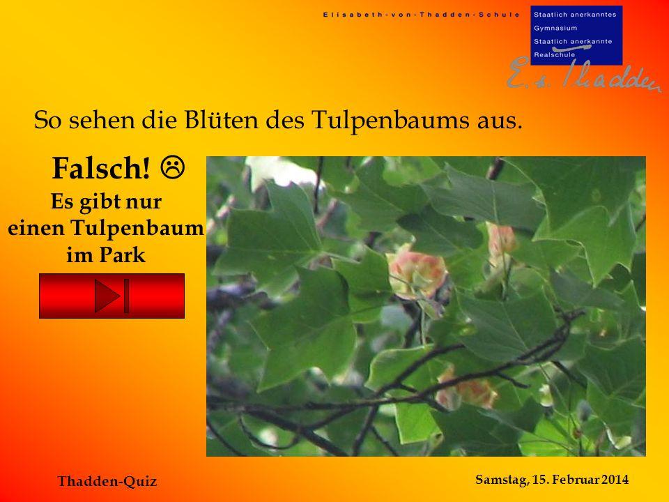 Samstag, 15. Februar 2014 Thadden-Quiz Es gibt nur einen Tulpenbaum im Park Falsch! So sehen die Blüten des Tulpenbaums aus.
