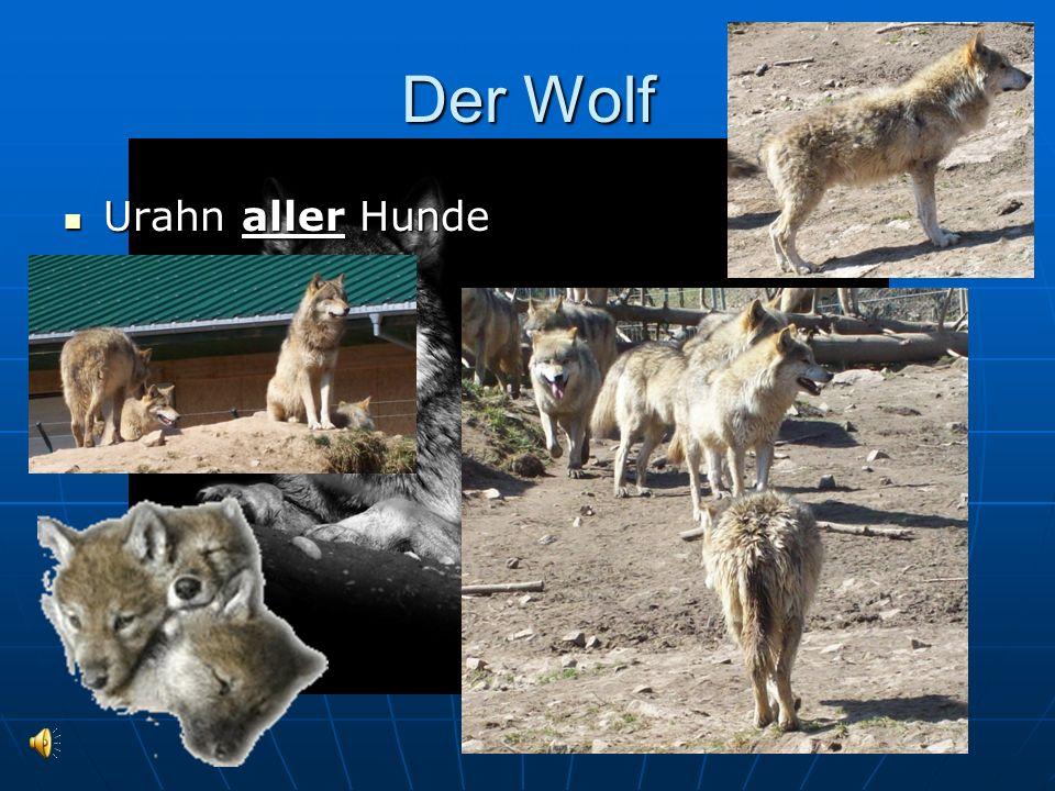 Der Wolf Urahn aller Hunde Urahn aller Hunde