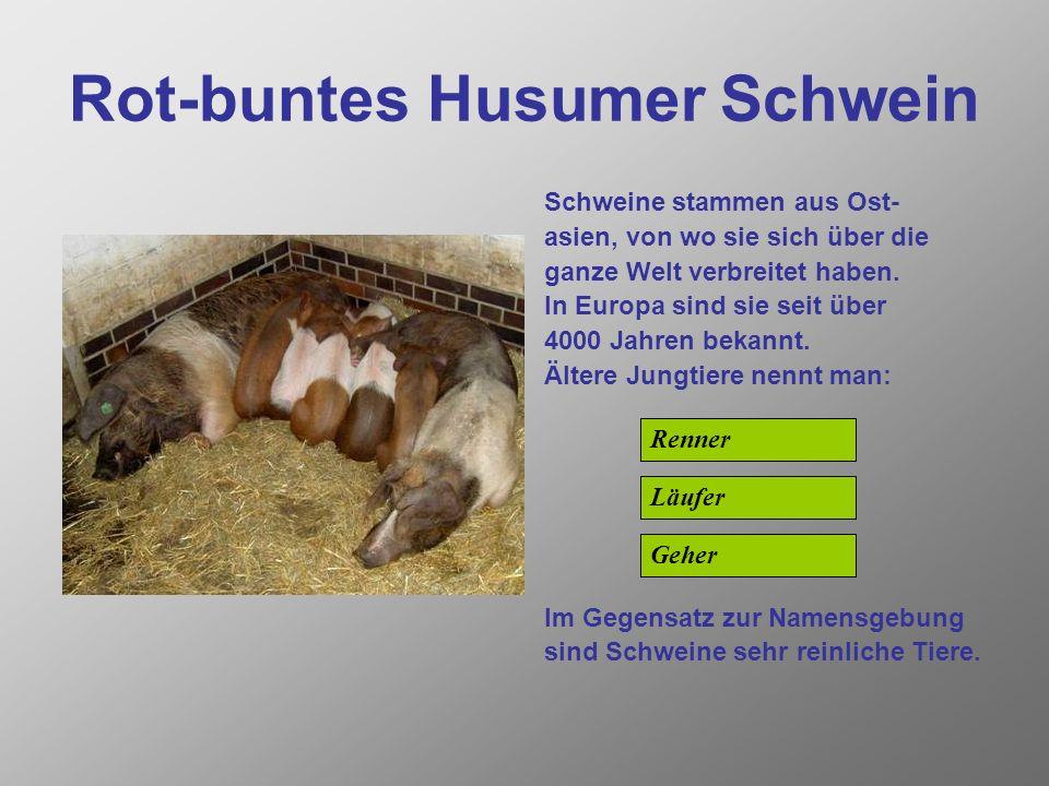 Rauhwolliges Pommersches Landschaf Vor über 9000 Jahren wurden Schafe aus dem Mufflon ge- züchtet. Sie gehören damit in die Säugetierordnung der: Im G