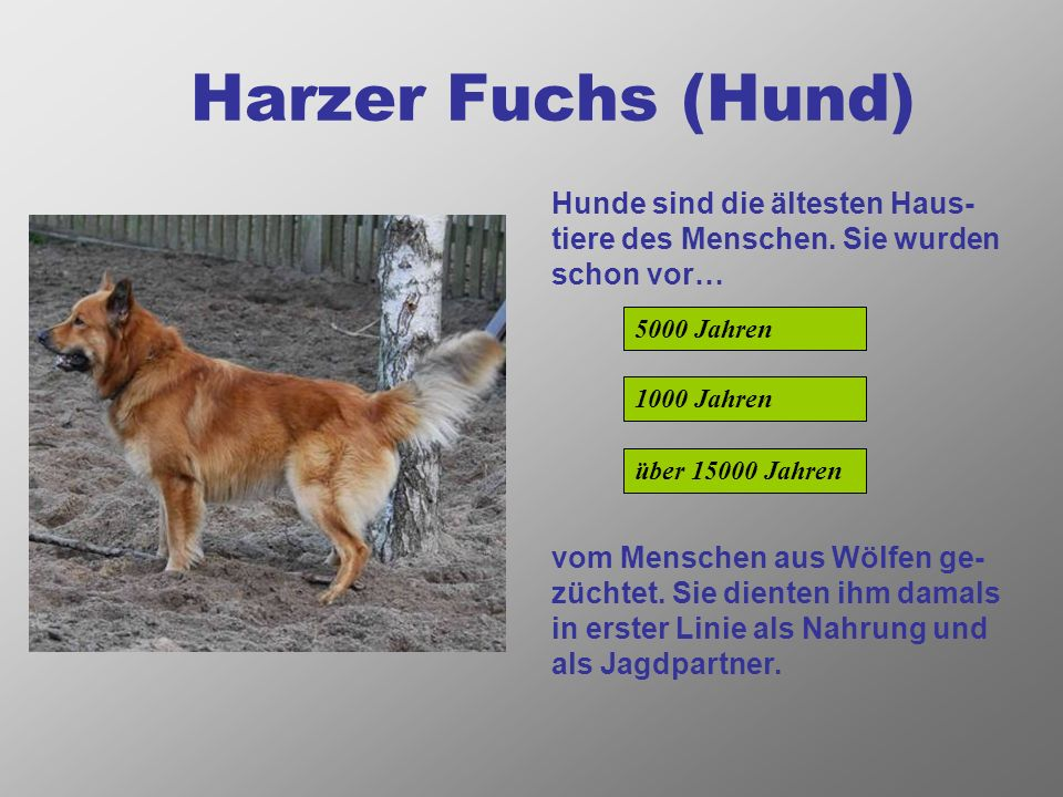 Harzer Fuchs (Hund) Hunde sind die ältesten Haus- tiere des Menschen.