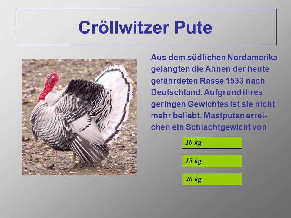 Cröllwitzer Pute Aus dem südlichen Nordamerika gelangten die Ahnen der heute gefährdeten Rasse 1533 nach Deutschland.