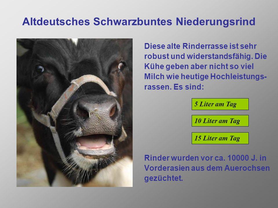 Altdeutsches Schwarzbuntes Niederungsrind Diese alte Rinderrasse ist sehr robust und widerstandsfähig.