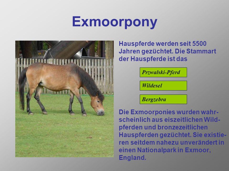 Exmoorpony Hauspferde werden seit 5500 Jahren gezüchtet.