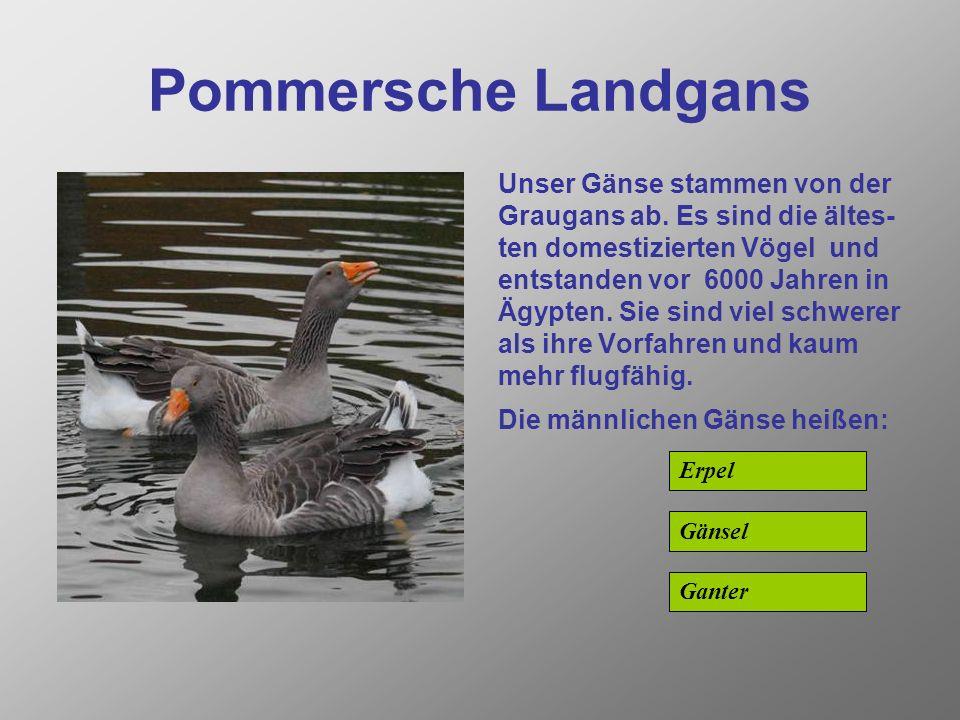 Pommersche Landgans Unser Gänse stammen von der Graugans ab.
