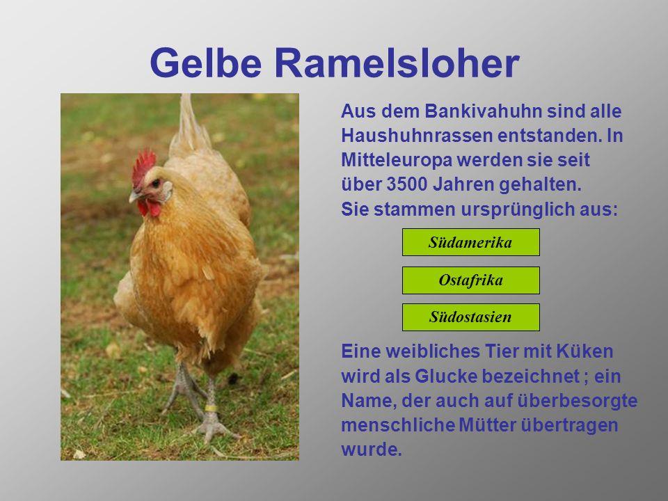 Gelbe Ramelsloher Aus dem Bankivahuhn sind alle Haushuhnrassen entstanden.