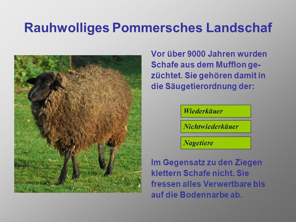 Rauhwolliges Pommersches Landschaf Vor über 9000 Jahren wurden Schafe aus dem Mufflon ge- züchtet.