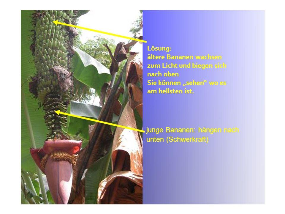 junge Bananen: hängen nach unten (Schwerkraft) Lösung: ältere Bananen wachsen zum Licht und biegen sich nach oben Sie können sehen wo es am hellsten i