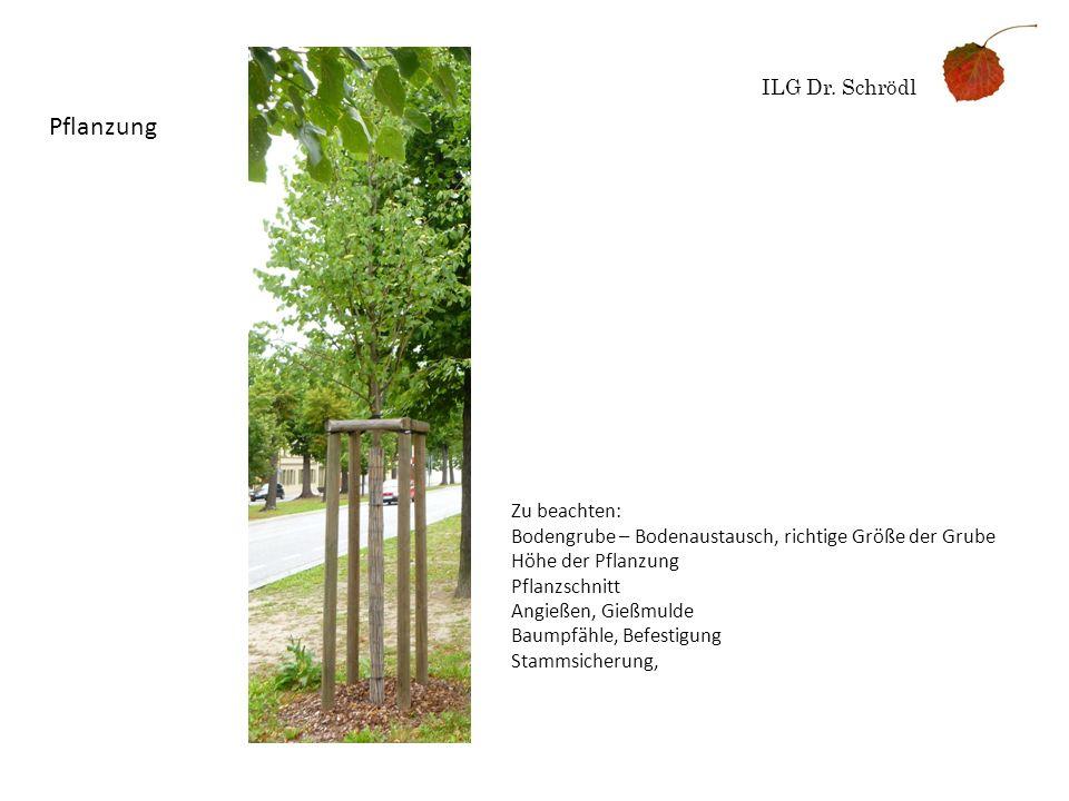 ILG Dr. Schrödl Pflanzung Zu beachten: Bodengrube – Bodenaustausch, richtige Größe der Grube Höhe der Pflanzung Pflanzschnitt Angießen, Gießmulde Baum