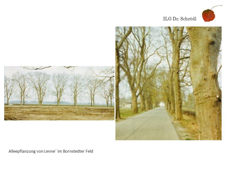 ILG Dr. Schrödl Alleepflanzung von Lenne´ im Bornstedter Feld