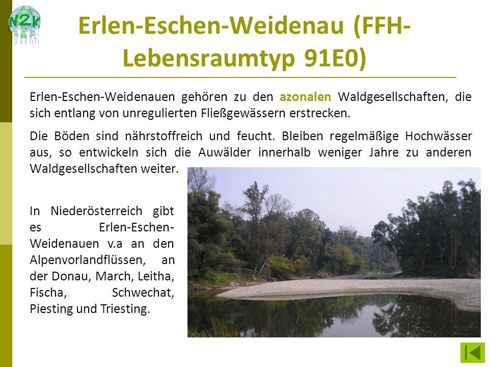 Erlen-Eschen-Weidenau (FFH- Lebensraumtyp 91E0) Erlen-Eschen-Weidenauen gehören zu den azonalen Waldgesellschaften, die sich entlang von unregulierten