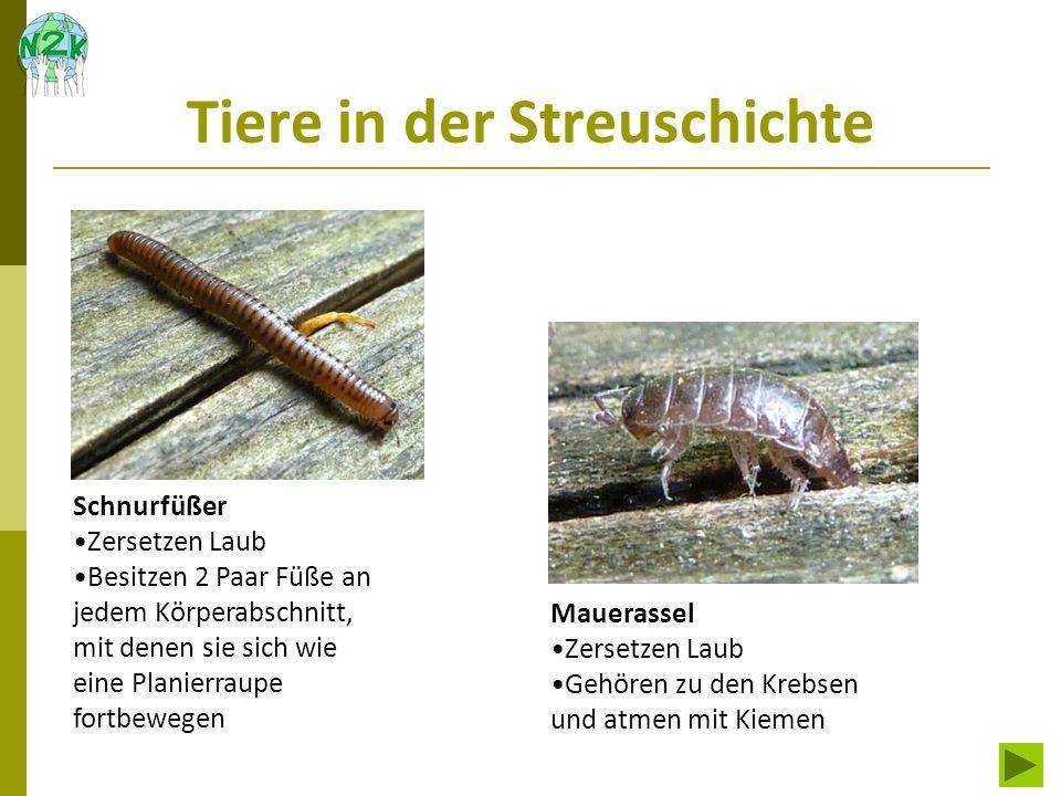 Tiere in der Streuschichte Steinläufer Räuber Ohrwurm Räuber Besitzen Flügel und können meist gut fliegen Pseudoskorpion Räuber in der Streuschichte mit Giftdrüsen in den Scheren