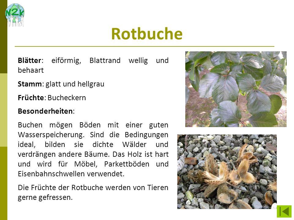 Rotbuche Blätter: eiförmig, Blattrand wellig und behaart Stamm: glatt und hellgrau Früchte: Bucheckern Besonderheiten: Buchen mögen Böden mit einer gu