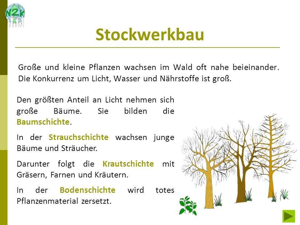 Stockwerkbau Große und kleine Pflanzen wachsen im Wald oft nahe beieinander. Die Konkurrenz um Licht, Wasser und Nährstoffe ist groß. Den größten Ante