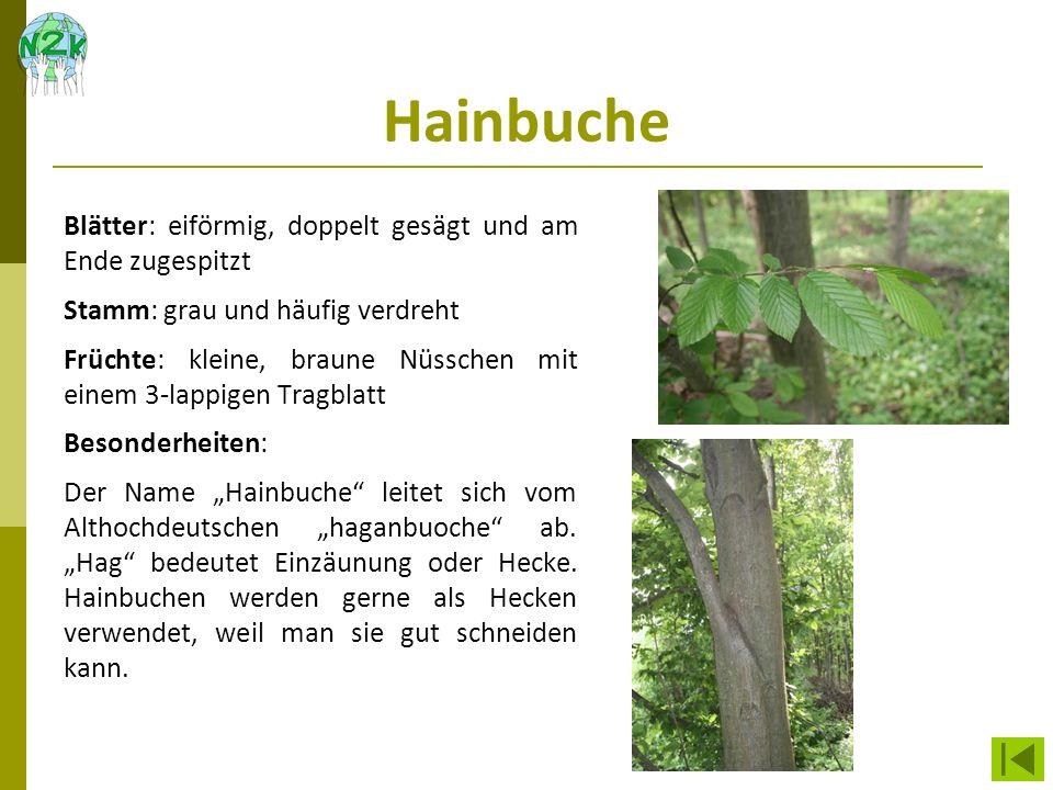 Hainbuche Blätter: eiförmig, doppelt gesägt und am Ende zugespitzt Stamm: grau und häufig verdreht Früchte: kleine, braune Nüsschen mit einem 3-lappig