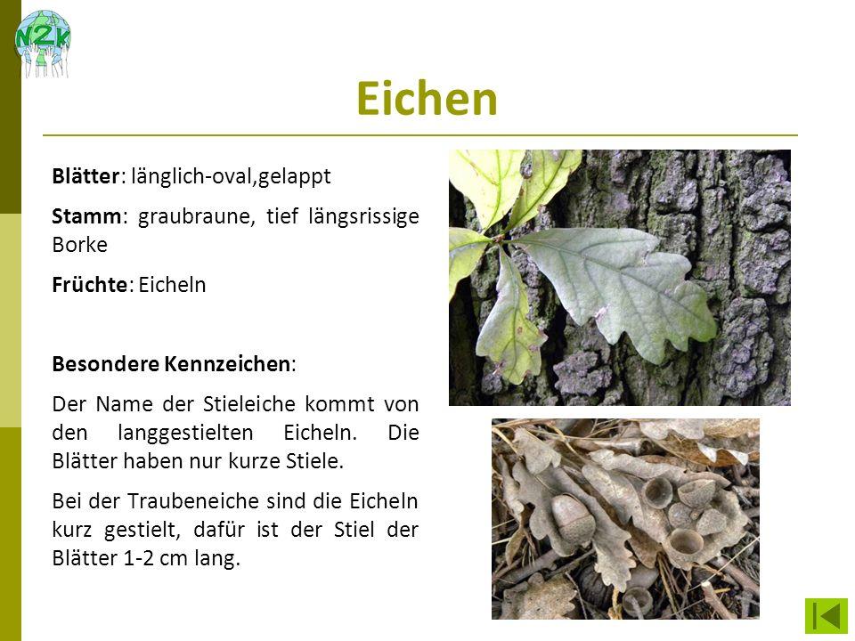 Eichen Blätter: länglich-oval,gelappt Stamm: graubraune, tief längsrissige Borke Früchte: Eicheln Besondere Kennzeichen: Der Name der Stieleiche kommt