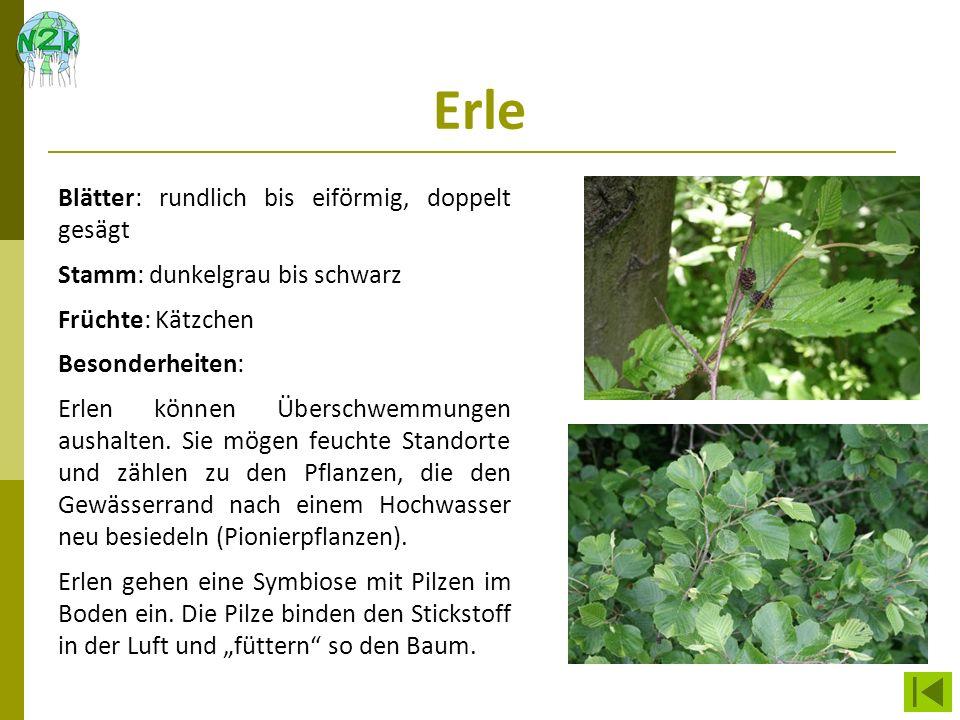Erle Blätter: rundlich bis eiförmig, doppelt gesägt Stamm: dunkelgrau bis schwarz Früchte: Kätzchen Besonderheiten: Erlen können Überschwemmungen aush