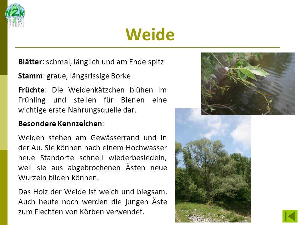 Weide Blätter: schmal, länglich und am Ende spitz Stamm: graue, längsrissige Borke Früchte: Die Weidenkätzchen blühen im Frühling und stellen für Bien