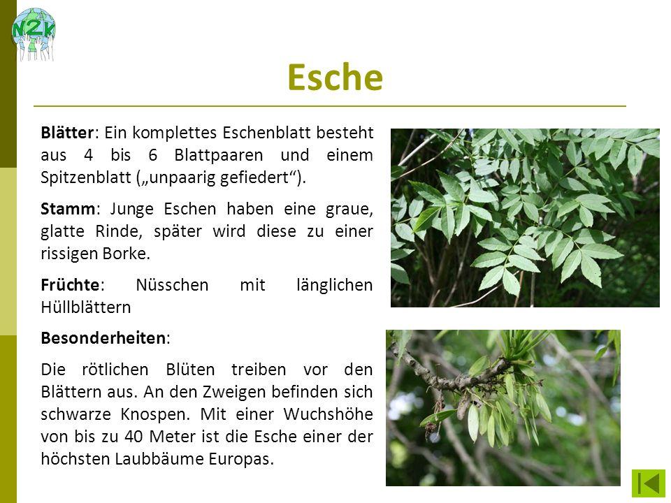 Esche Blätter: Ein komplettes Eschenblatt besteht aus 4 bis 6 Blattpaaren und einem Spitzenblatt (unpaarig gefiedert). Stamm: Junge Eschen haben eine