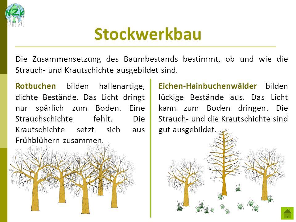 Stockwerkbau Die Zusammensetzung des Baumbestands bestimmt, ob und wie die Strauch- und Krautschichte ausgebildet sind. Rotbuchen bilden hallenartige,