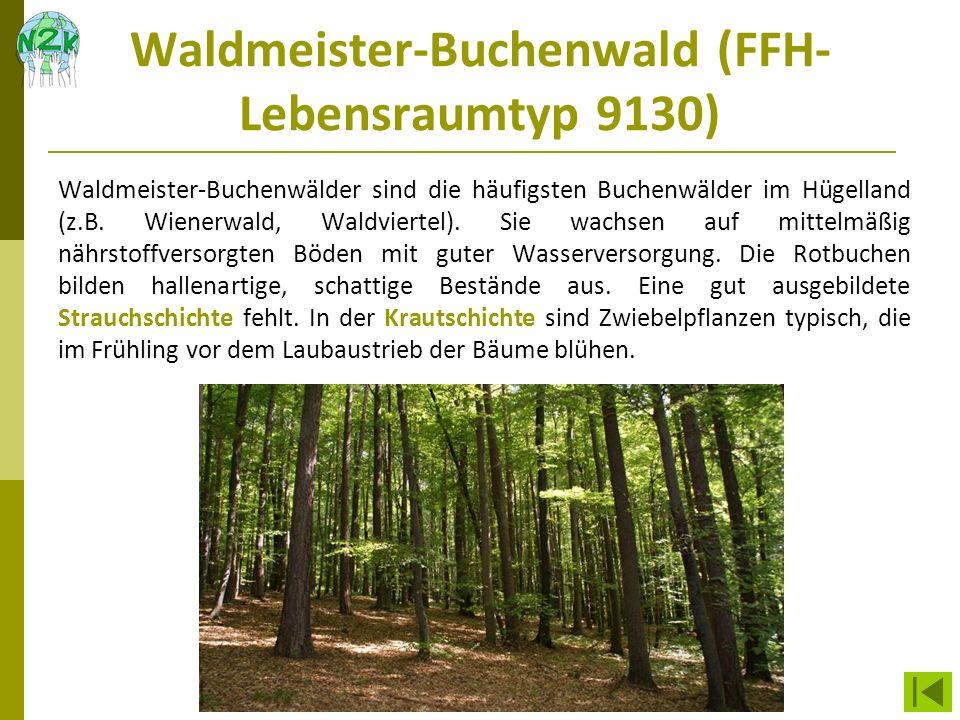 Waldmeister-Buchenwald (FFH- Lebensraumtyp 9130) Waldmeister-Buchenwälder sind die häufigsten Buchenwälder im Hügelland (z.B. Wienerwald, Waldviertel)