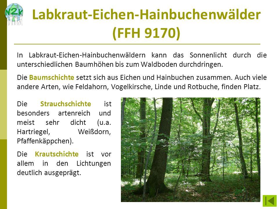 Labkraut-Eichen-Hainbuchenwälder (FFH 9170) In Labkraut-Eichen-Hainbuchenwäldern kann das Sonnenlicht durch die unterschiedlichen Baumhöhen bis zum Wa
