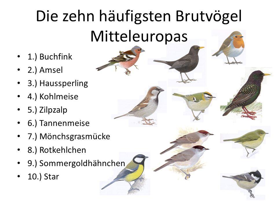 Die zehn häufigsten Brutvögel Mitteleuropas 1.) Buchfink 2.) Amsel 3.) Haussperling 4.) Kohlmeise 5.) Zilpzalp 6.) Tannenmeise 7.) Mönchsgrasmücke 8.)