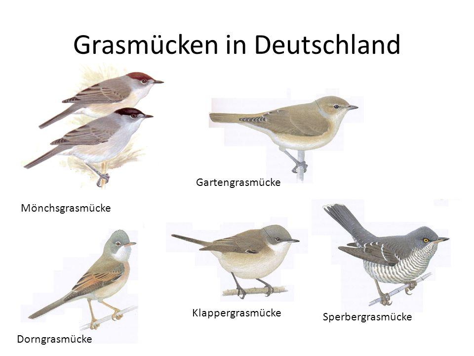 Grasmücken in Deutschland Gartengrasmücke Mönchsgrasmücke Dorngrasmücke Klappergrasmücke Sperbergrasmücke