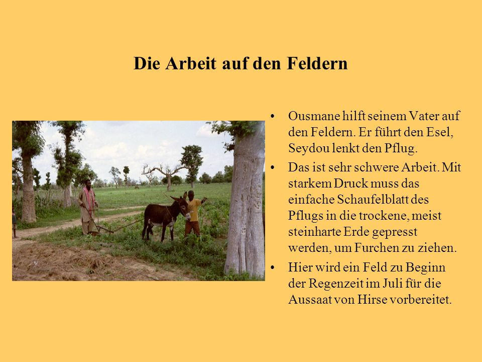 Die Arbeit auf den Feldern Ousmane hilft seinem Vater auf den Feldern. Er führt den Esel, Seydou lenkt den Pflug. Das ist sehr schwere Arbeit. Mit sta